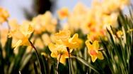 Beautiful yellow flowers Stock Footage