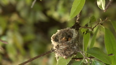 Hummingbird babies in nest -07 Stock Footage