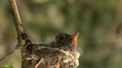 Hummingbird babies in nest -10 Stock Footage
