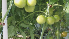 Growing food aeroponically - tomatoes in a green house - 2 Stock Footage
