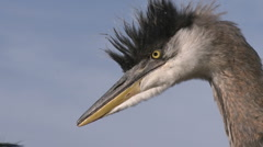 Close up of a Great Blue Heron (Ardea herodias) at Lake Casitas Recreation Area Stock Footage