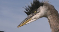 Stock Video Footage of Close up of a Great Blue Heron (Ardea herodias) at Lake Casitas Recreation Area