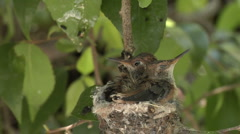 Hummingbird babies in nest -14 Stock Footage