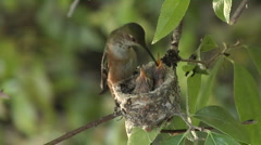 Feeding Hummingbird babies -08 Stock Footage