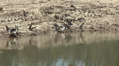 Swallows gathering mud at a restored wetlands at the Ojai Meadow Preserve  Stock Footage