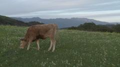 Cow grazing in a field in Ojai, California. Stock Footage