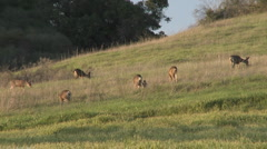 Herd of Black-tailed Deer grazing in a field in Oak View, California. Stock Footage