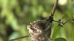 Hummingbird babies in nest -13 Stock Footage