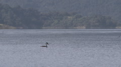 Panning grebes and motorboat passing on Lake Casitas Stock Footage