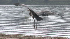Great Blue Heron (Ardea herodias) landing at Lake Casitas Recreation Area - stock footage