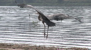 Stock Video Footage of Great Blue Heron (Ardea herodias) landing at Lake Casitas Recreation Area