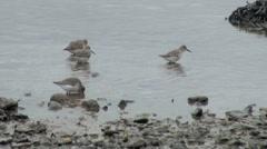 Dunlin Winter Wading Birds Stock Footage