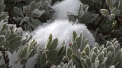 Zoom in on snow and frost on a manzanita tree in Los Padres National Forest Stock Footage