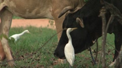 Cow and birds Stock Footage