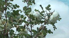 Rosebush. - stock footage