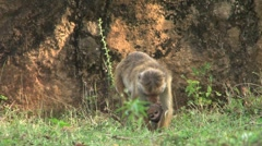 Monkey with baby monkey Stock Footage
