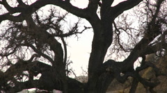 Zoom out on large Valley Oak during the spring in Ojai, California Stock Footage