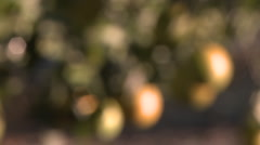 Close up rack focus on oranges on a tree in Ojai, California. Stock Footage