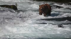 Adult Grizzly in river looking for fish -16 Stock Footage