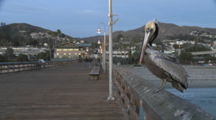 Brown pelican taking off from the Ventura Pier in Ventura, California. Stock Footage