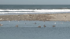 Brown pelican and seagulls in the Ventura River Estuary at Surfers Point Stock Footage