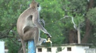Stock Video Footage of Monkey drinking water out of a crane