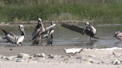Brown pelicans and cormorants in the Ventura River Estuary at Surfers Point Stock Footage