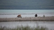 Female Grizzly bear with 4 cubs walking along shore Stock Footage