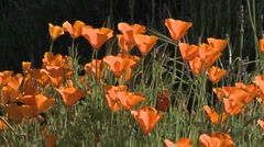 Close-up of california poppies in bloom in Ojai, California. Stock Footage