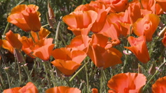 Close-up of california poppies in bloom blowing in the wind Stock Footage