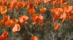 Low point of view of california poppies in bloom  Stock Footage