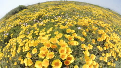 Wide time lapse of California Poppies blowing in the wind in San Simeon, Stock Footage