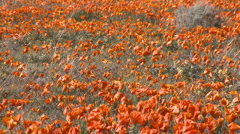Zoom out of california poppies in bloom in the Antelope Valley Poppy Preserve Stock Footage