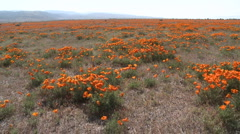 Wide pan of california poppies in bloom blowing in the wind  Stock Footage