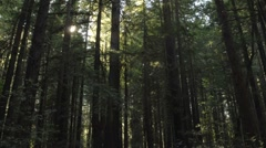 Time lapse of sun flares setting through Coastal Redwoods Stock Footage