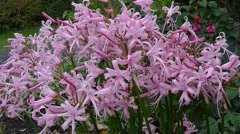 Nerine bowdenii in Bloom in Autumn Stock Footage