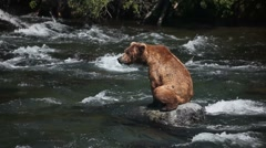 Adult Grizzly in river looking for fish -18a (part 1 of 2) Stock Footage