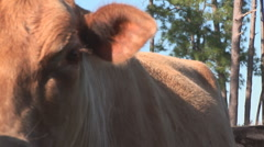Cow Trio Stock Footage