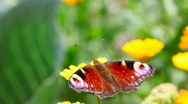Peacock butterfly. Stock Footage