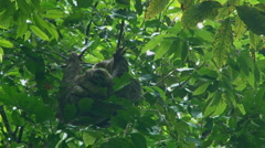 Costa Rica: Baby sloth clings to mother Stock Footage