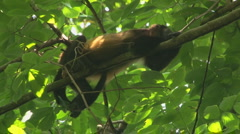 Costa Rica: Howler Monkey takes nap in tree Stock Footage