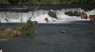 Adult Grizzlies at falls; bear carrying salmon in mouth Stock Footage