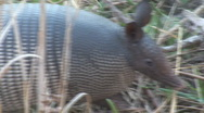 Stock Video Footage of Armadillo Florida