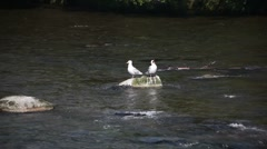 Seagulls resting on rock in river Stock Footage