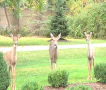 3 Deer In a Row, Middle One Eats Leaf Stock Footage