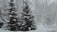 Time lapse of snow falling on a pine tree in Vail, Colorado. Stock Footage