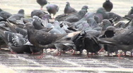 A flock of pigeons in the city eating bread crumbs Stock Footage