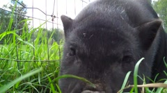 Baby pig close up Stock Footage