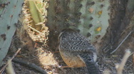Cactus Wren Forages Stock Footage