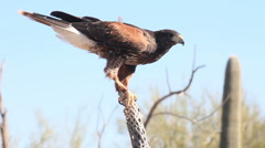 Hawk Flight Stock Footage